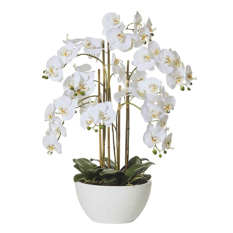 Rogue – Butterfly Orchid in Round Pot 50x50x70cm