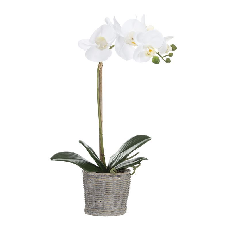 Rogue – Butterfly Orchid in Basket Pot 23x14x45cm White