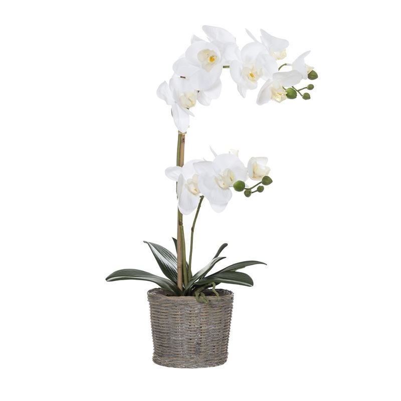 Rogue – Butterfly Orchid in Basket Pot 25x15x53cm White